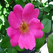The Wild Rose by Bobby G. Berney