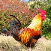 Chicken Music by Jim