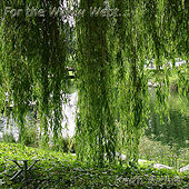 For the Willow Wept... by Keith Richie