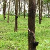 Herb Tree Hertz Toe by Nico