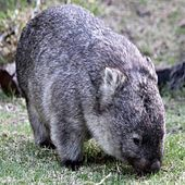 Wally, The Wandering Wombat (A Story with Music) by Mary Waters