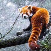 Panda roux de The La's