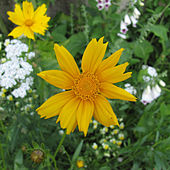 Sunflower de Houston