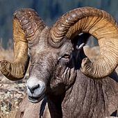 Big Horn Sheep by Trace
