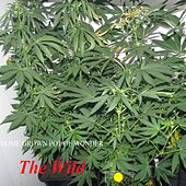 Home Grown Pot Of Wonder by The Wild