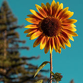 Sunflower by Jesse Rangel