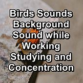 Birds Sounds Background Sound while Working Studying and Concentration de The Birdsongs