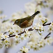 Refreshing Bird Tweet by Bird Sounds In Nature