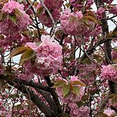 Double Cherry Blossoms von Chino Yoshio