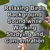 Relaxing Birds Background Sound while Working Studying and Concentration by Sleep