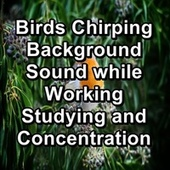Birds Chirping Background Sound while Working Studying and Concentration von Yoga Music