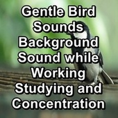 Gentle Bird Sounds Background Sound while Working Studying and Concentration by Spa Relax Music