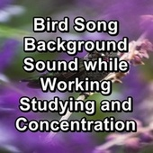Bird Song Background Sound while Working Studying and Concentration by Bird Sounds
