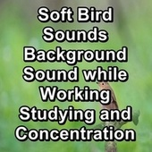 Soft Bird Sounds Background Sound while Working Studying and Concentration de Musica Relajante