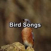 Bird Songs by Yoga Music