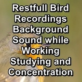 Restfull Bird Recordings Background Sound while Working Studying and Concentration by Spa Music (1)