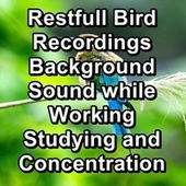 Restfull Bird Recordings Background Sound while Working Studying and Concentration by Spa Relax Music