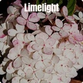 Limelight by Various Artists
