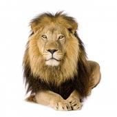 Le lion (La vie du lion racontée en musique) de Les Galopins