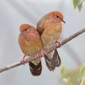 Rain Birds de Sounds Of Nature