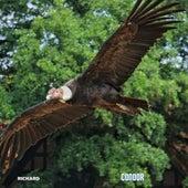 Condor by Richard