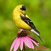 Popular Bird Calls and Songs by Wildtones - Bird Calls and Bird Songs