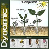 Photosynthesis by Dynamic