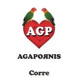 Corre de Agapornis