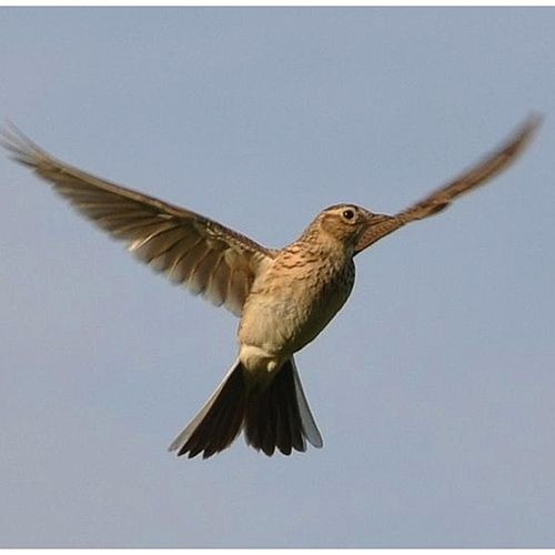 Lark in the Clear Air by Lisa Moscatiello