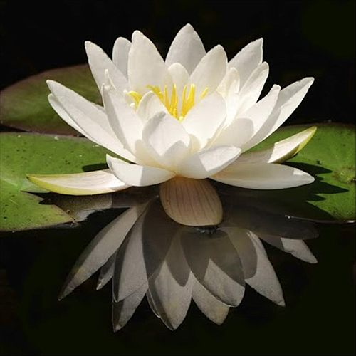 The Lotus Quartet by Chris Anderson