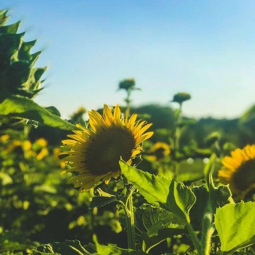 Sunflower de L0v3