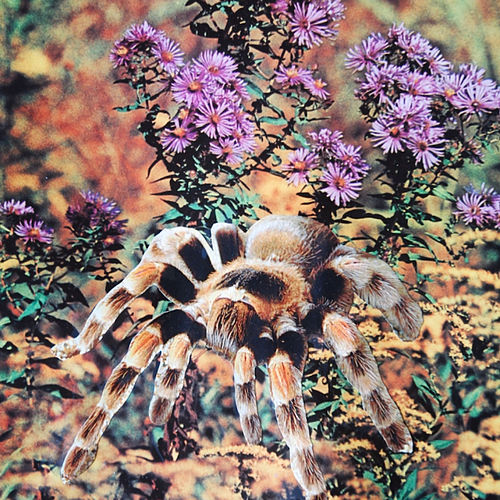 Tarantula by Moon