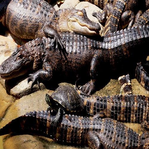 Gator Block von BC
