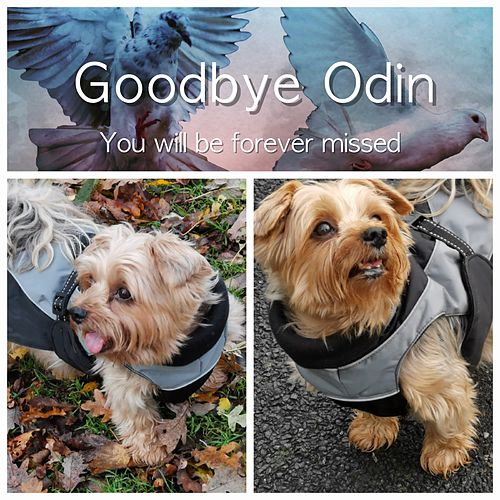 Goodbye Odin, You Will Be Forever Missed by Steen Rylander
