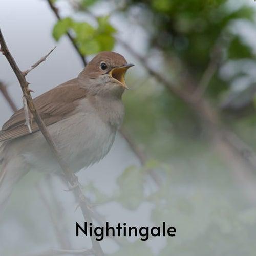 Nightingale by Joe Liggins