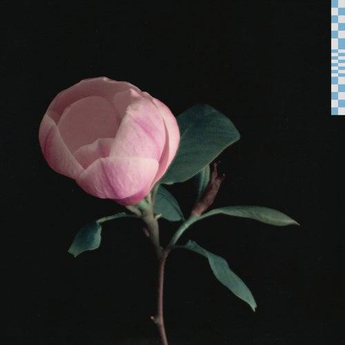 magnolia von Zachary Knowles
