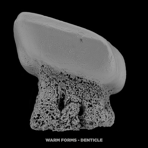 Denticle by Warm Forms