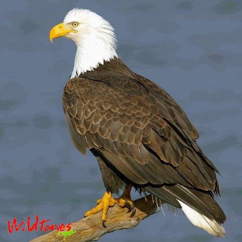 Birds of Prey - Raptor Bird Calls and Sounds by Wildtones Bird Calls and Songs